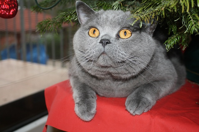 geschm ckter weihnachtsbaum wie reagieren eure katzen. Black Bedroom Furniture Sets. Home Design Ideas