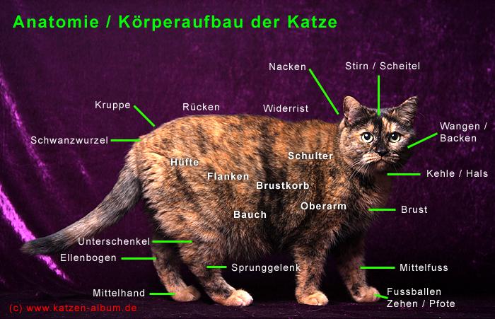 Anatomie / Körperbau der Katze - cattalk - das Katzen-Forum