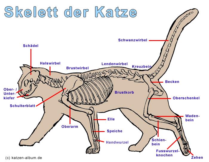 Anatomie einer schwangeren Katze
